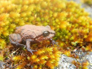 The recently discovered Attenborough rubber frog lives in the Pui Pui Protected Forrest in Peru; photo: Dr. Edgar Lehr