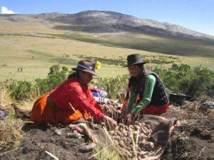 Potato harvest high in the Peruvian Andes; photo: Rediagro Peru